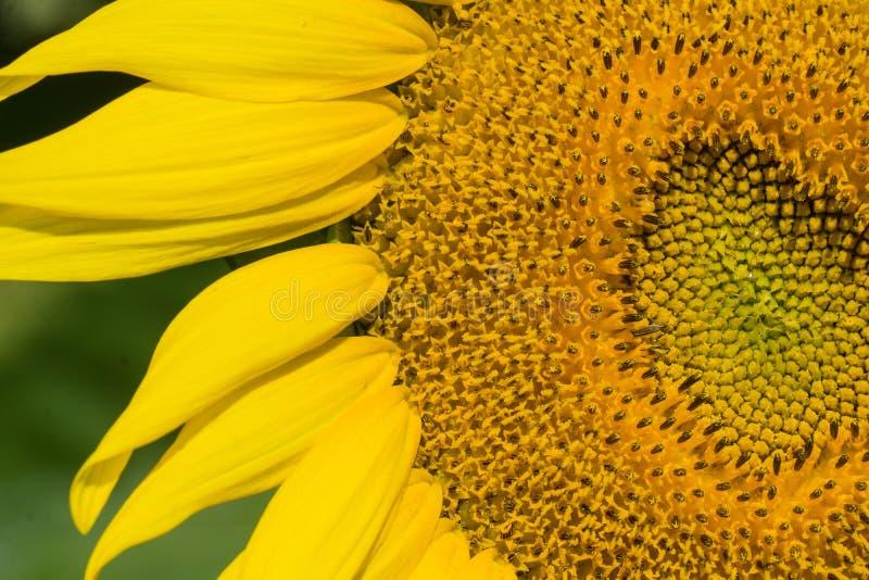Zakończenie Gigantyczni słoneczniki fotografia royalty free