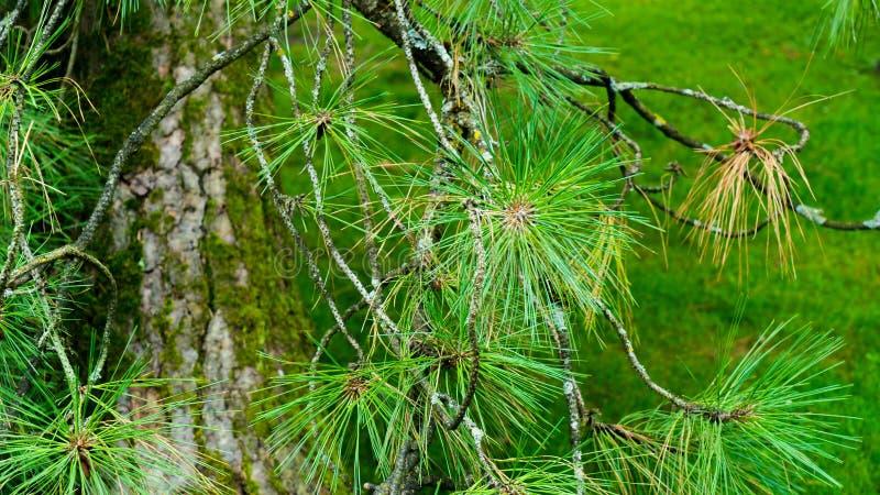 Zakończenie igły od drzewa zdjęcia royalty free