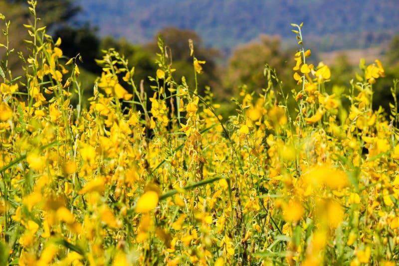 Zakończenie jaskrawi żółci kwiaty Crotalaria junceasunn konopie Selekcyjna ostrość fotografia stock