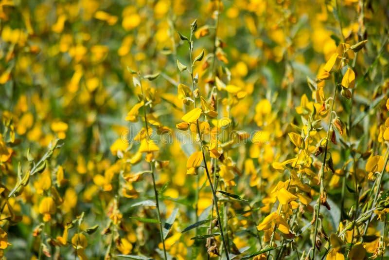 Zakończenie jaskrawi żółci kwiaty Crotalaria junceasunn konopie Selekcyjna ostrość zdjęcie stock
