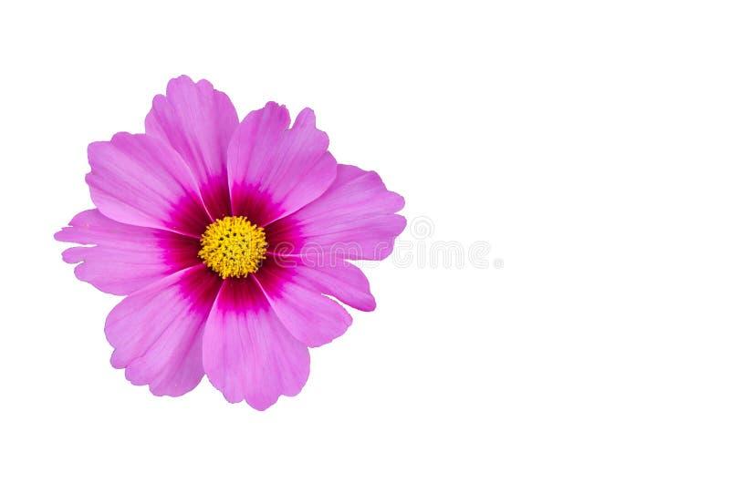Zakończenie kosmosu purpur pojedynczy kwiat odizolowywający na białym tle fotografia stock
