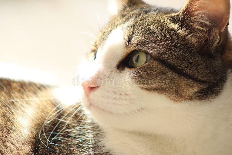 Zakończenie kot w profilu głowa i oczy - strzał w domu - fotografia royalty free