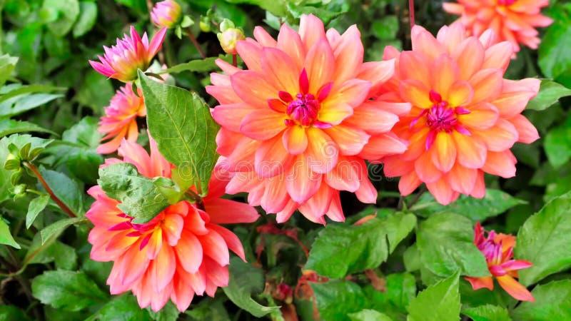 Zakończenie kwitnąca pomarańczowa chryzantema zdjęcie royalty free