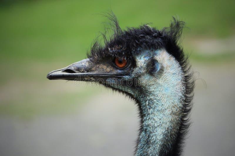 Zakończenie lewa strona emu twarz zdjęcie stock