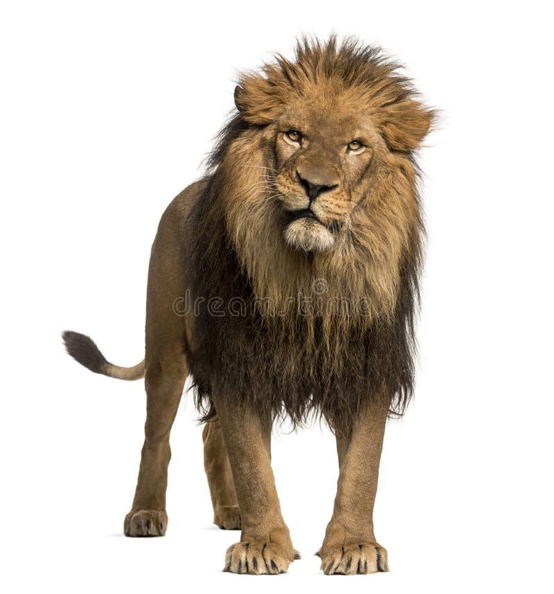 Zakończenie lwa huczenie, Panthera Leo, 10 lat, odizolowywających obrazy stock