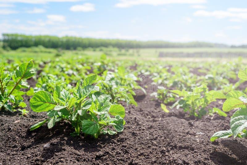 Zakończenie młody kartoflany krótkopęd w ogródzie kartoflana plantacja, rolnictwo, jesieni żniwo fotografia royalty free