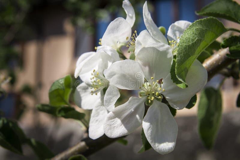 Zakończenie mały biały jabłczany okwitnięcie zdjęcia royalty free