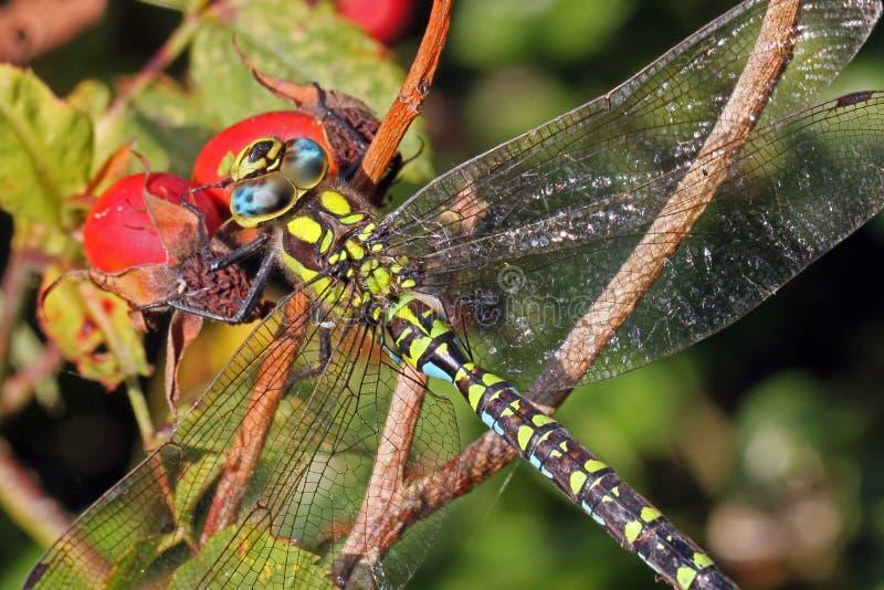 Zakończenie, makro- fotografia Dragonfly obrazy stock
