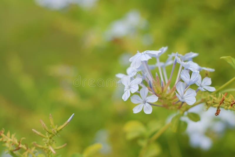 Zakończenie mali biali kwiaty nad zielenią, zamazany tło Piękna natury scena z Bokeh przestrzenią dla teksta zdjęcia royalty free