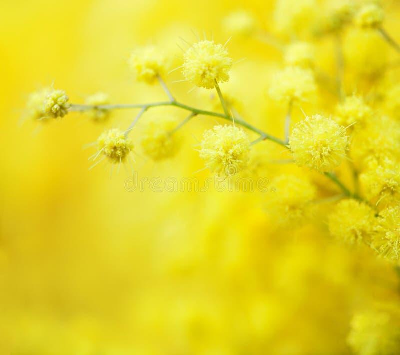 Zakończenie mimosas żółta wiosna kwitnie na defocused żółtym tle Bardzo płytka głębia pole Selekcyjna ostrość zdjęcia royalty free