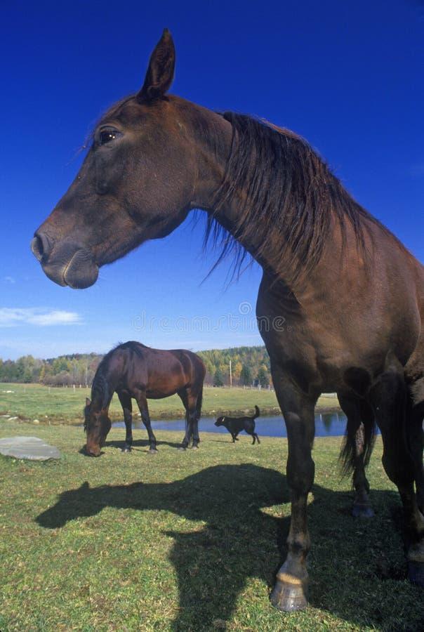 Zakończenie Morgan koń, Danville, VT zdjęcia royalty free