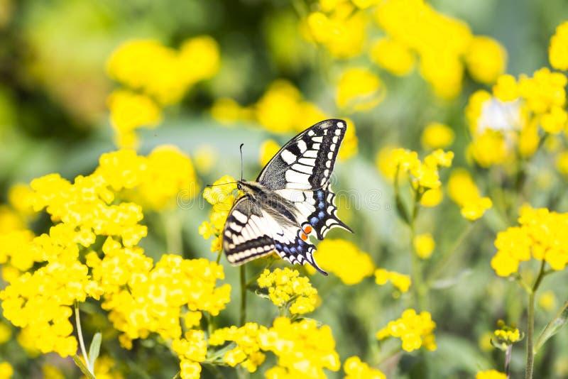 Zakończenie motyli Swallowtail na kolorze żółtym kwitnie w ogródzie obrazy royalty free