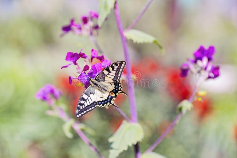 Zakończenie motyli Swallowtail na kwiatach w ogródzie fotografia stock