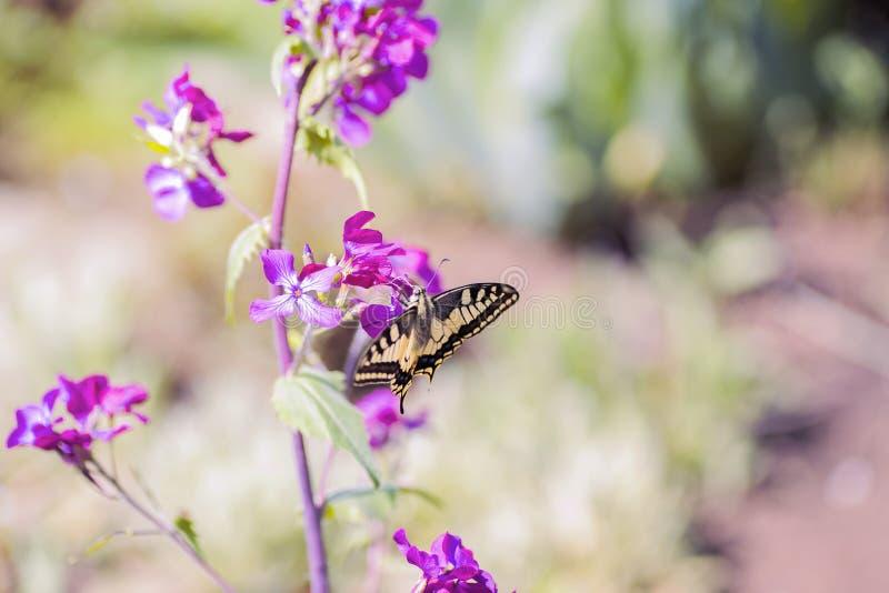 Zakończenie motyli Swallowtail na kwiatach w ogródzie zdjęcia stock