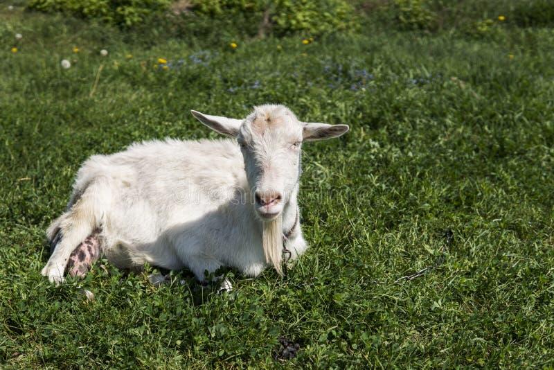 Zakończenie na białej śmiesznej kózce na łańcuchu z długim brody pasaniem na zielonym paśnika polu w słonecznym dniu _ zdjęcie royalty free