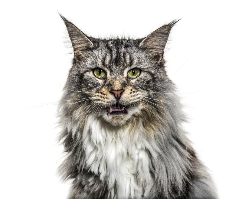 Zakończenie na główny coon kota meowing, odizolowywam obrazy royalty free