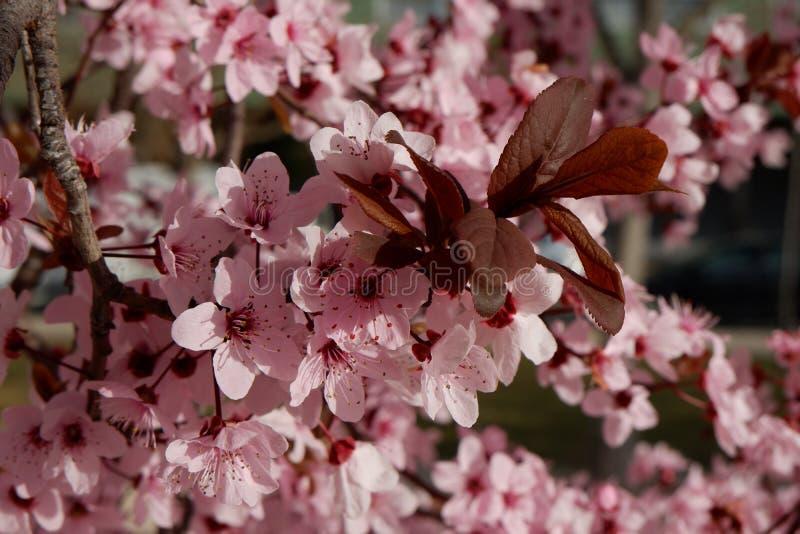 Zakończenie na w górę Japońskiego śliwkowego drzewa z ofert menchiami kwitnie zdjęcia royalty free