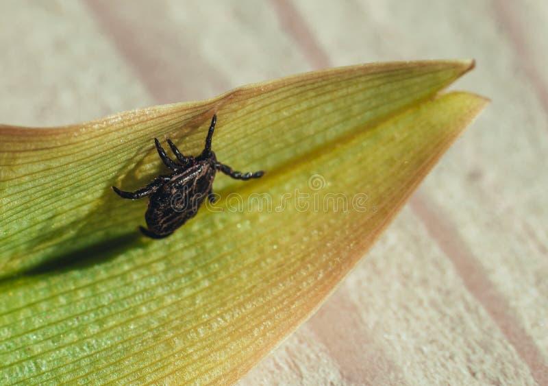 Zakończenie Niebezpieczny darmozjada i infekcja przewoźnika lądzieniec obsiadanie na zielonym liściu fotografia royalty free