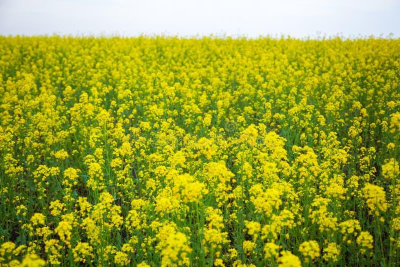 Zakończenie ogromny koloru żółtego pole obraz royalty free