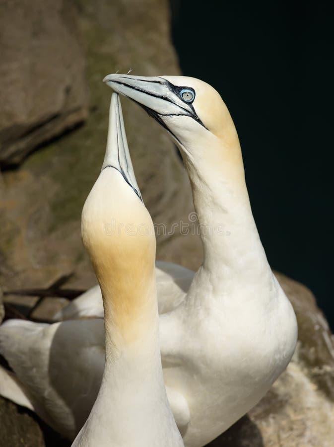 Zakończenie Północny gannet pokaz podczas hodowla sezonu obrazy royalty free