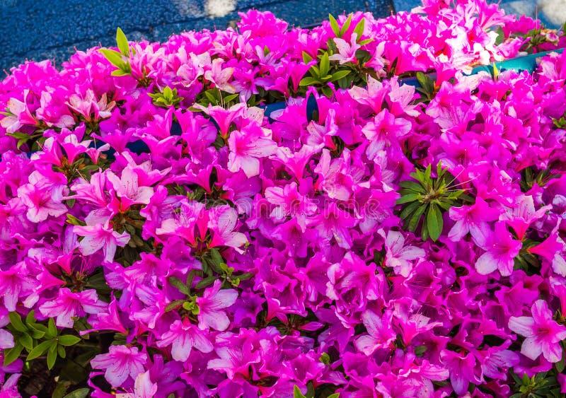 Zakończenie piękna purpurowa wiosna up kwitnie w Japonia zdjęcie stock