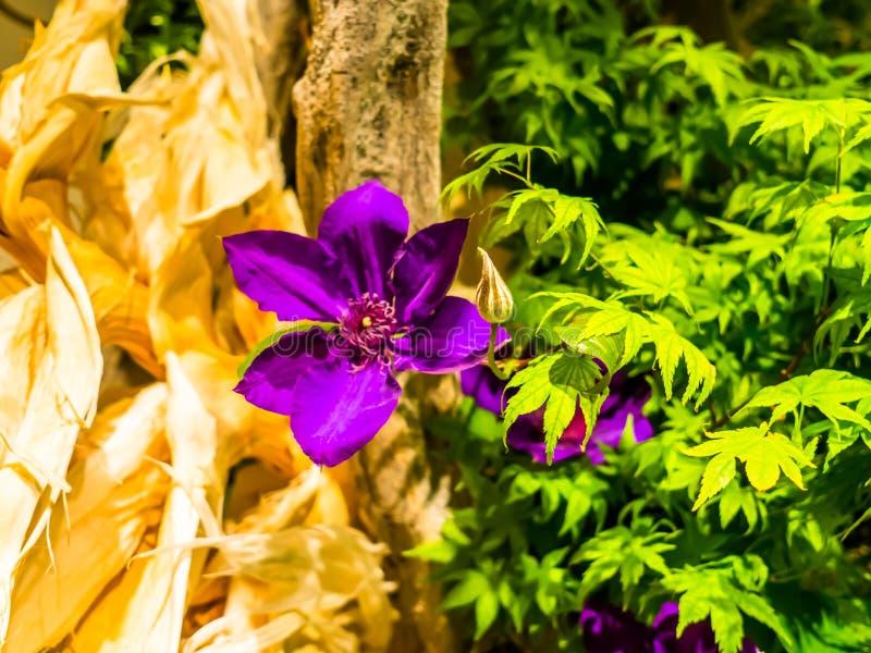 Zakończenie piękna purpurowa wiosna up kwitnie z zielonymi liśćmi w Japonia obraz royalty free