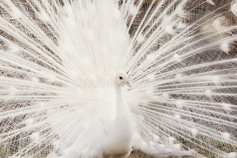Zakończenie piękny biały paw z piórkami out fotografia royalty free