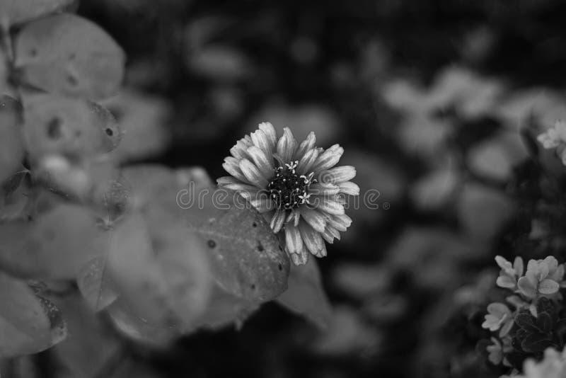 Zakończenie piękny kwiat w czarny i biały zdjęcie royalty free