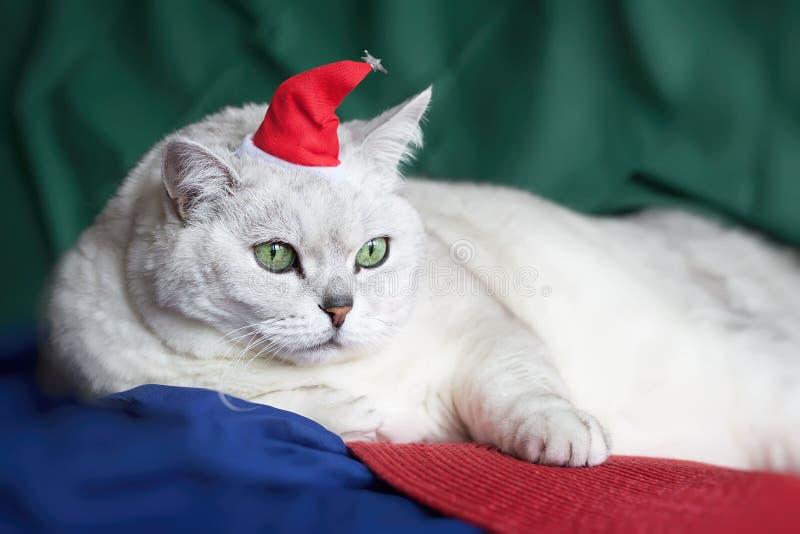 Zakończenie piękny, lekkiego cienia Brytyjski kot z inteligentnymi, pięknymi zielonymi oczami w czerwonym Bożenarodzeniowym kapel obraz stock