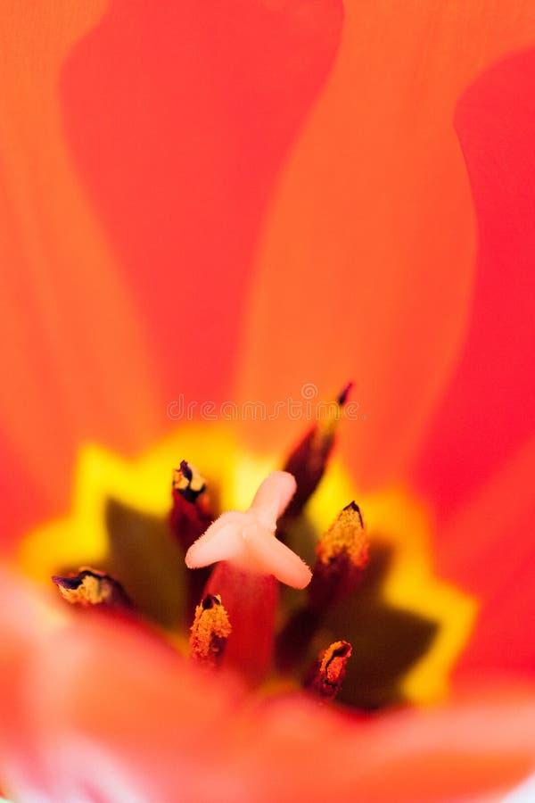 Zakończenie pistil i stamens wśrodku czerwonego tulipanu obraz royalty free