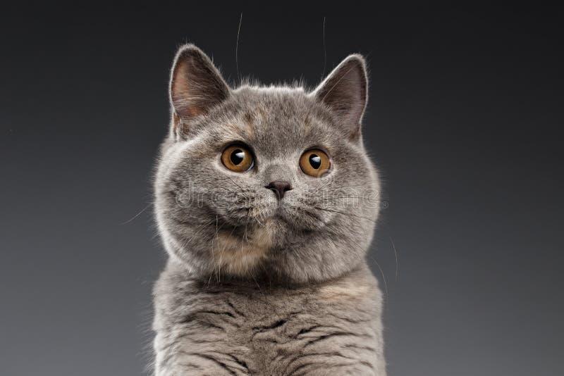Zakończenie Pluszowego Szarego Brytyjskiego kota Ciekawi spojrzenia na Ciemnym tle fotografia stock