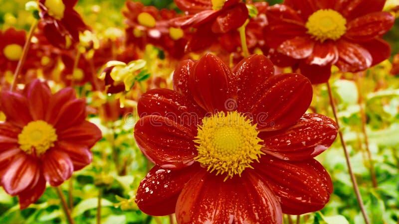 Zakończenie pomarańczowi kwiaty w ogrodowych, Makro- kroplach woda na pomarańczowym kwiacie w lesie/ fotografia royalty free