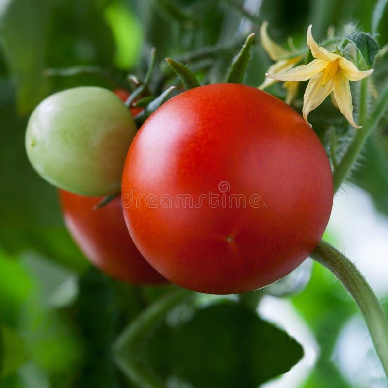 Narastający pomidory obrazy royalty free