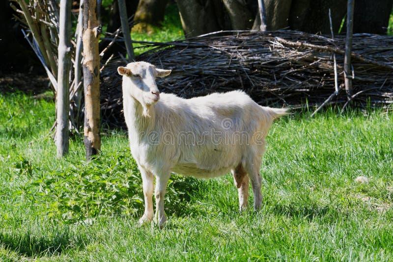 Zakończenie portret biała dorosła kózka grassing na zielonym lato łąki polu obrazy stock