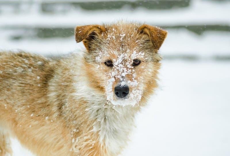 Zakończenie portret dorosły miedzianowłosy pies na śnieżnym śniegu na zima dniu obraz stock