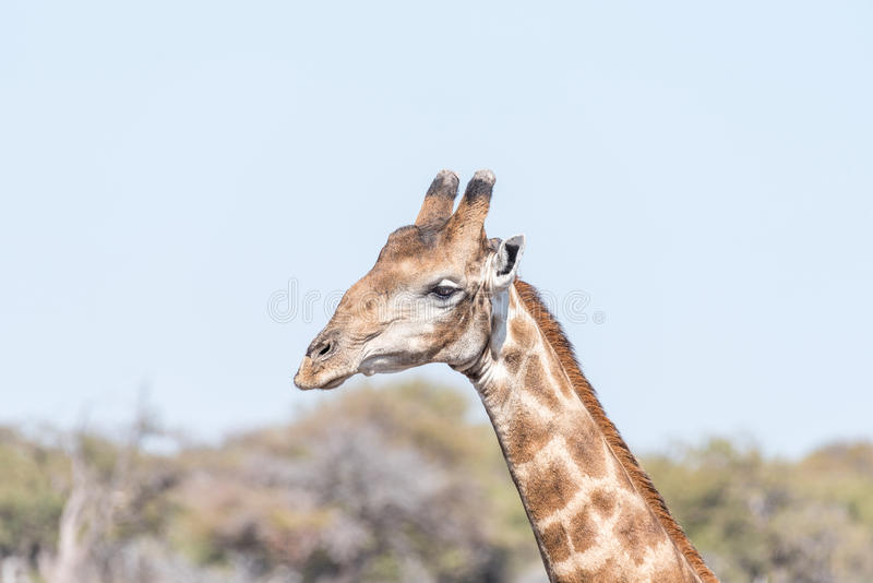 Zakończenie portret Namibijska żyrafa, giraffa camelopardalis fotografia stock
