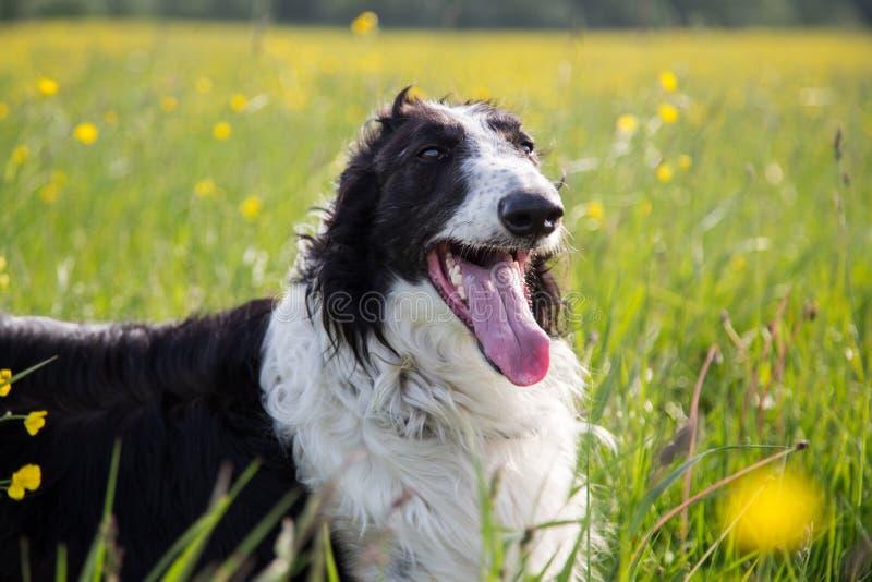 Zakończenie portret pięknego czarny i biały psiego trakenu borzoi rosyjski lying on the beach w zielonej trawie koloru żółtego ja obrazy royalty free
