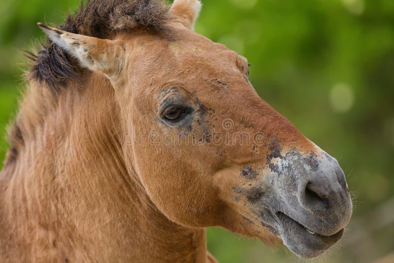 Zakończenie portret Przhevalsky ` s koń w zoo Equus ferus przewalskii zdjęcia royalty free