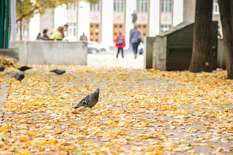Zakończenie pospolita popielata gołębia pozycja na kolorze żółtym up opuszcza w parku w naturalnym świetle - jesień w Europa zdjęcie royalty free