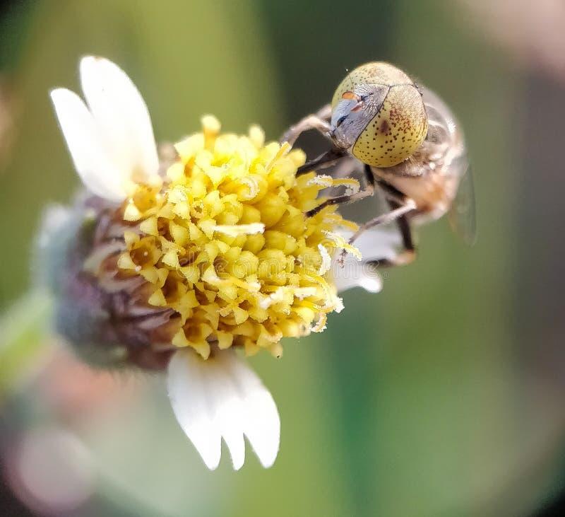 Zakończenie pszczoła zdjęcia royalty free