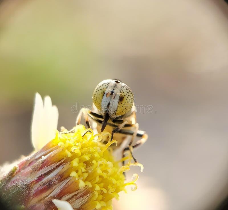 Zakończenie pszczoła zdjęcie royalty free