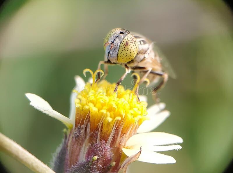 Zakończenie pszczoła obraz royalty free