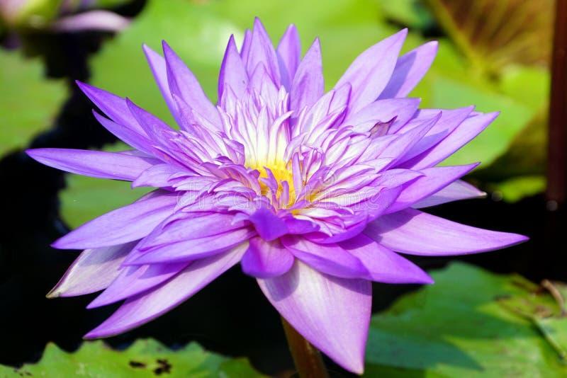 Zakończenie purpura koloru wodnej lelui kwiat fotografia stock