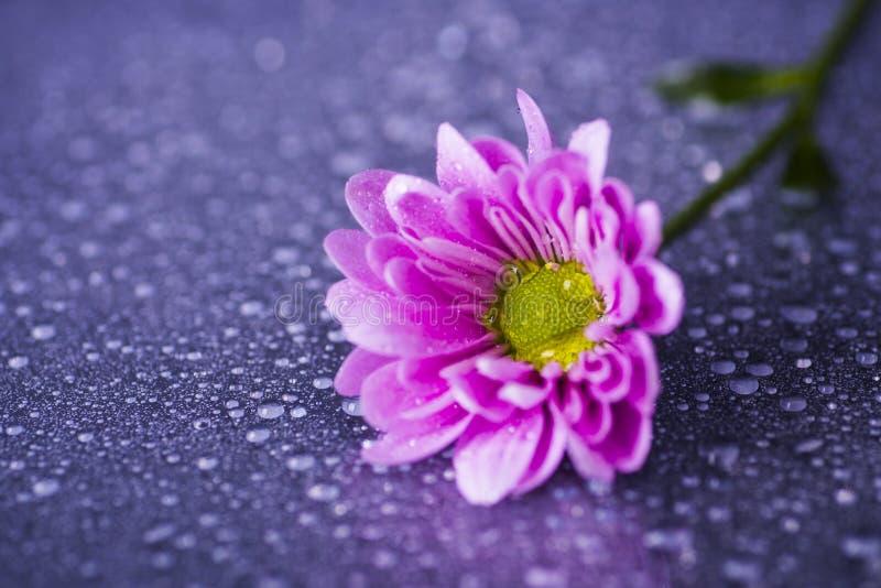 Zakończenie purpurowa chryzantema z wodą opuszcza na glansowanej powierzchni zdjęcie stock