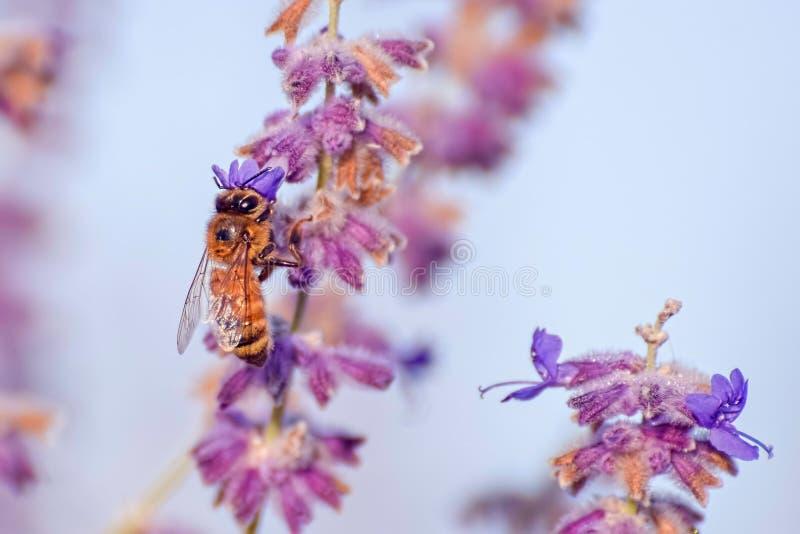 zakończenie Purpurowa Kwiatonośna roślina i pszczoła obrazy royalty free