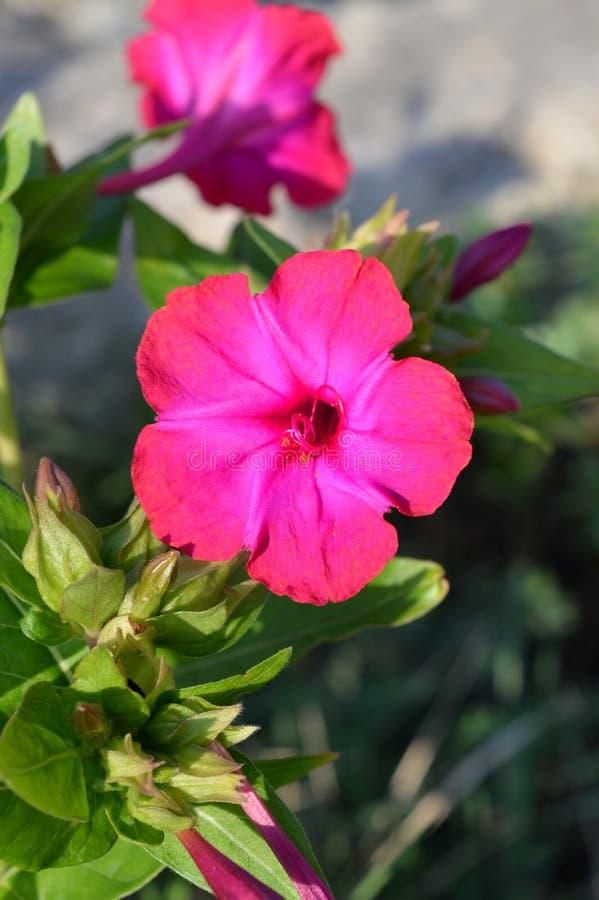 Zakończenie Różowy Mirabilis Jalapy kwiat, cud Peru, Cztery o ` zegaru kwiat, Makro-, natura obraz royalty free