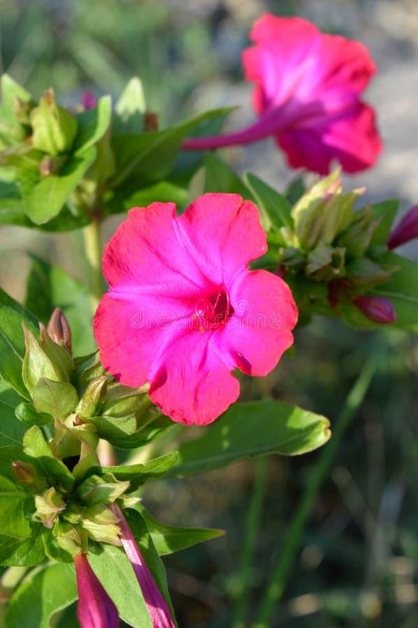 Zakończenie Różowy Mirabilis Jalapy kwiat, cud Peru, Cztery o ` zegaru kwiat, Makro-, natura zdjęcie stock