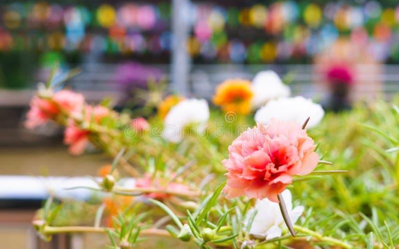 Zakończenie Różowy Portulaca up kwitnie kwitnienie w tropikalnym ogródzie zdjęcia royalty free