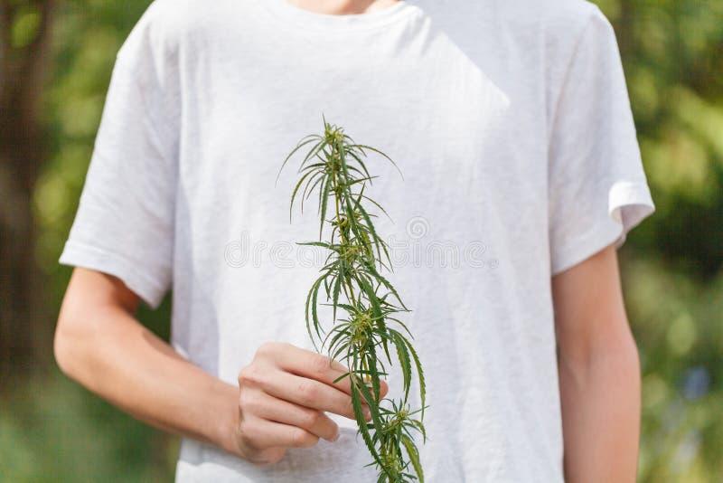 Zakończenie ręki trzyma flancy konopiana trawa na ciemnozielonym backgr obrazy stock