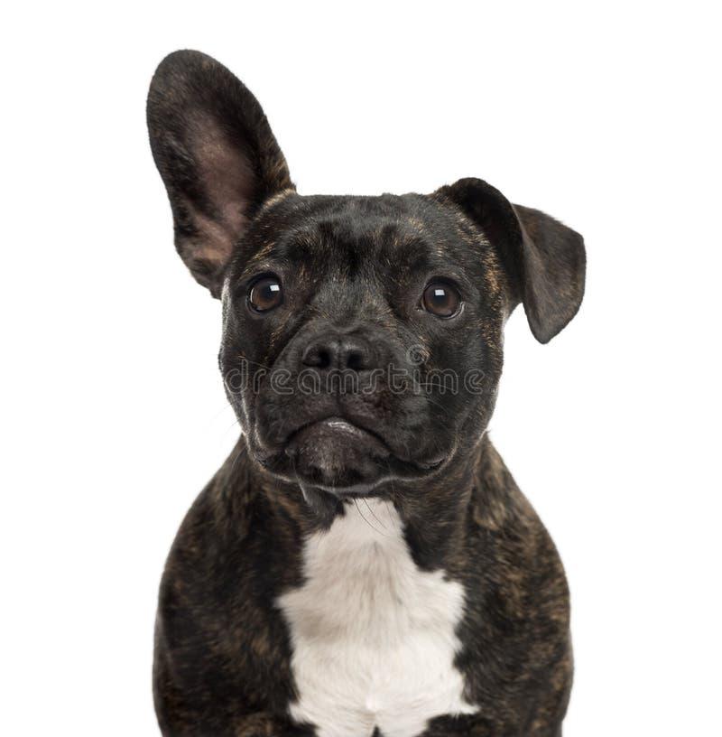 Zakończenie Staffordshire Bull Terrier zdjęcie royalty free